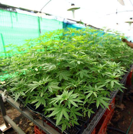На марихуаны заработок выращивании что конопля на пробивает